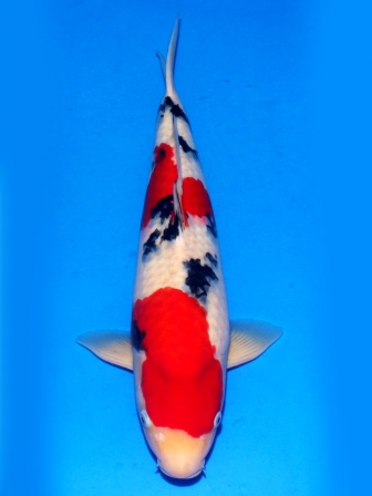 Sanke Tamaura Koi Farm 56cm Female