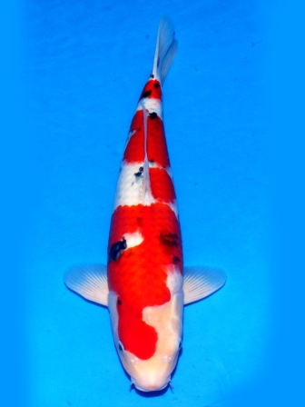 Sanke Tamaura Koi Farm 57cm Female